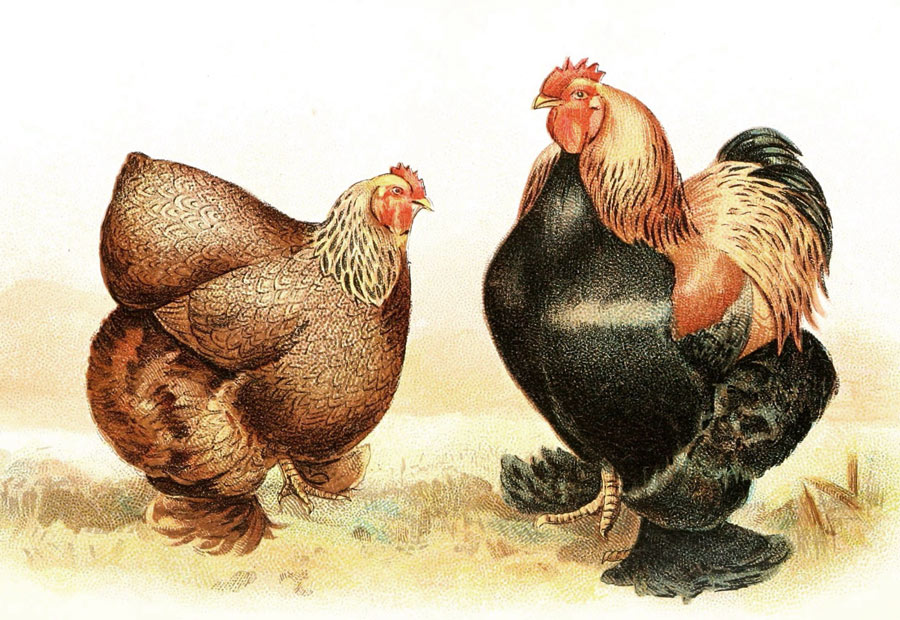 what breed of chicken is best for eggs - not these Cochins!