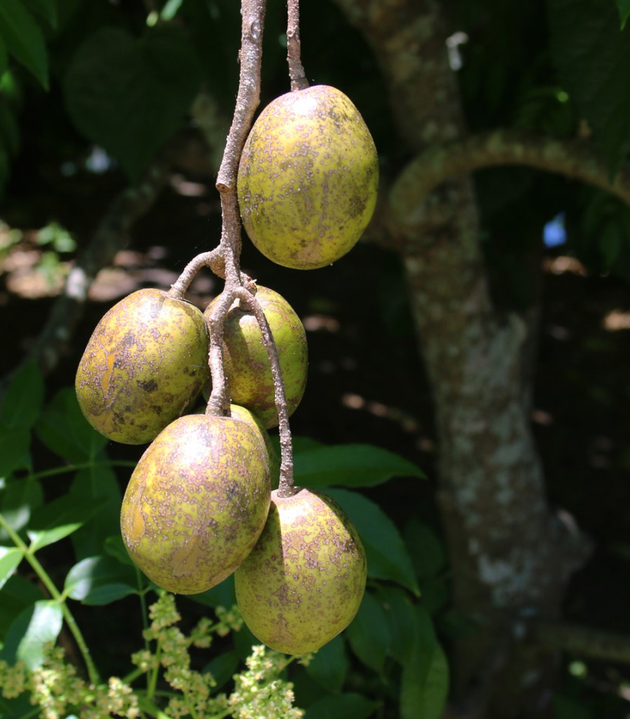 june plum fruit
