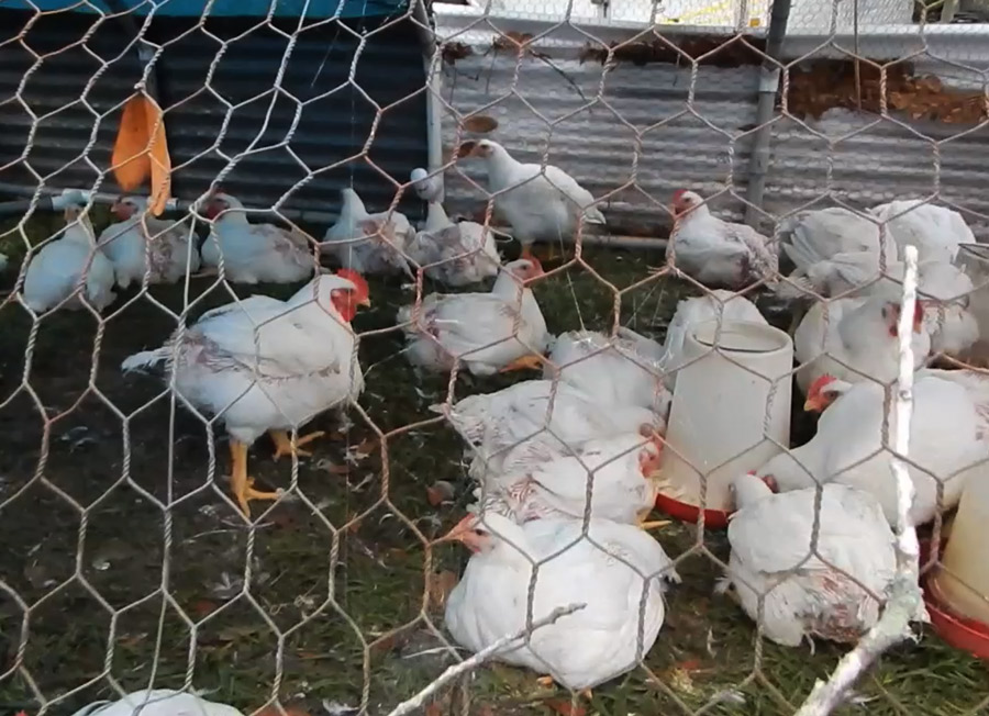 What breed of chicken is best - meat birds for meat!