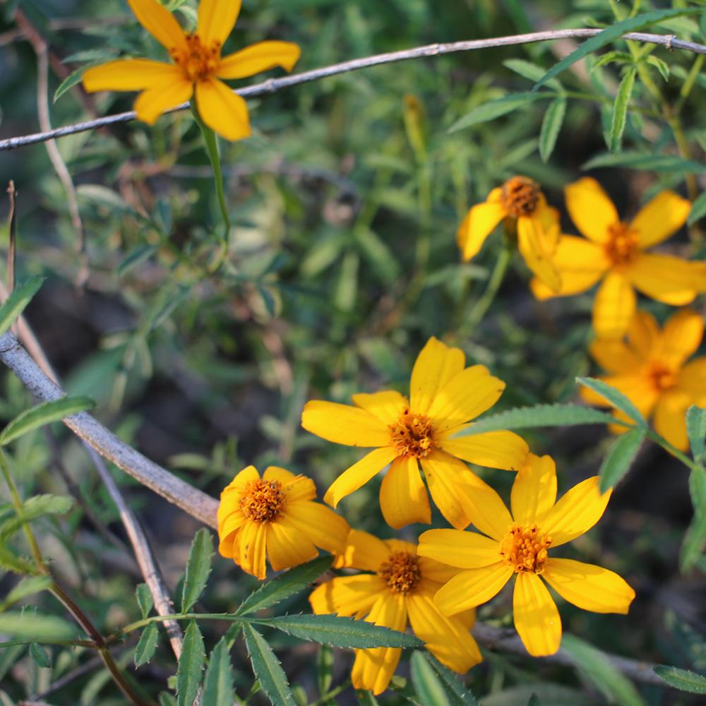 Perennial_Marigolds