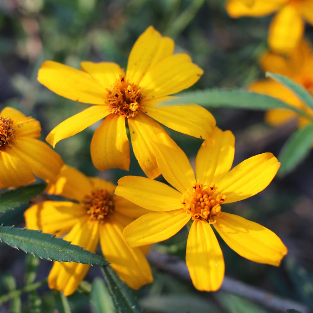 Perennial_Marigolds_2