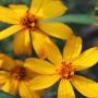 Perennial_Marigolds_3