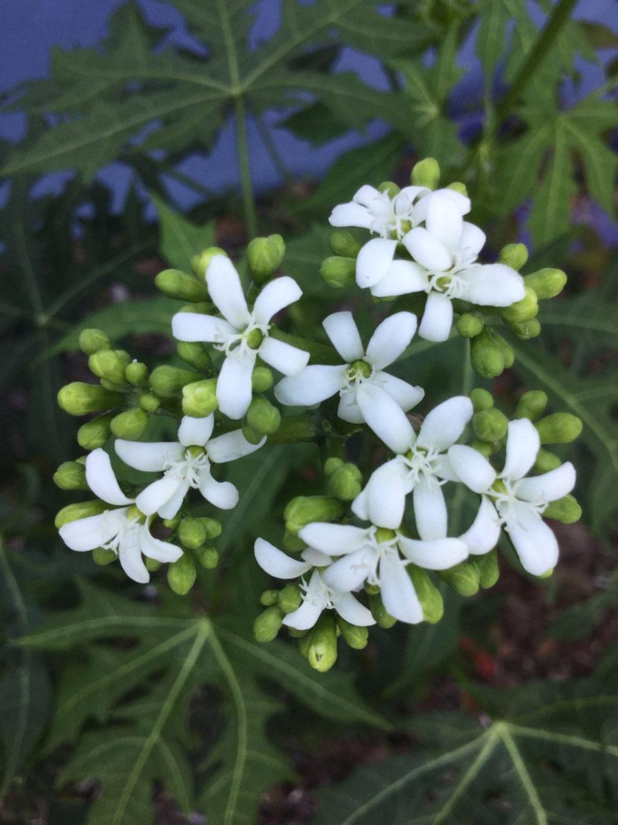 St Petersburg Garden Blooming_Chaya