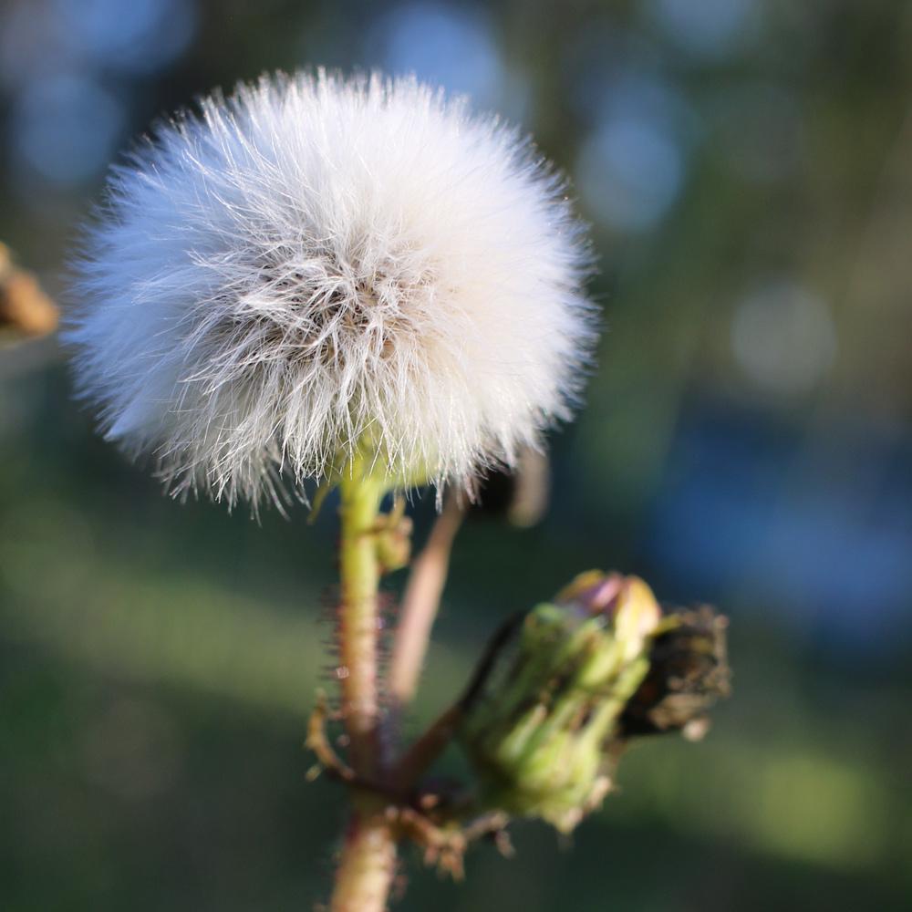 Thistle_Blossom