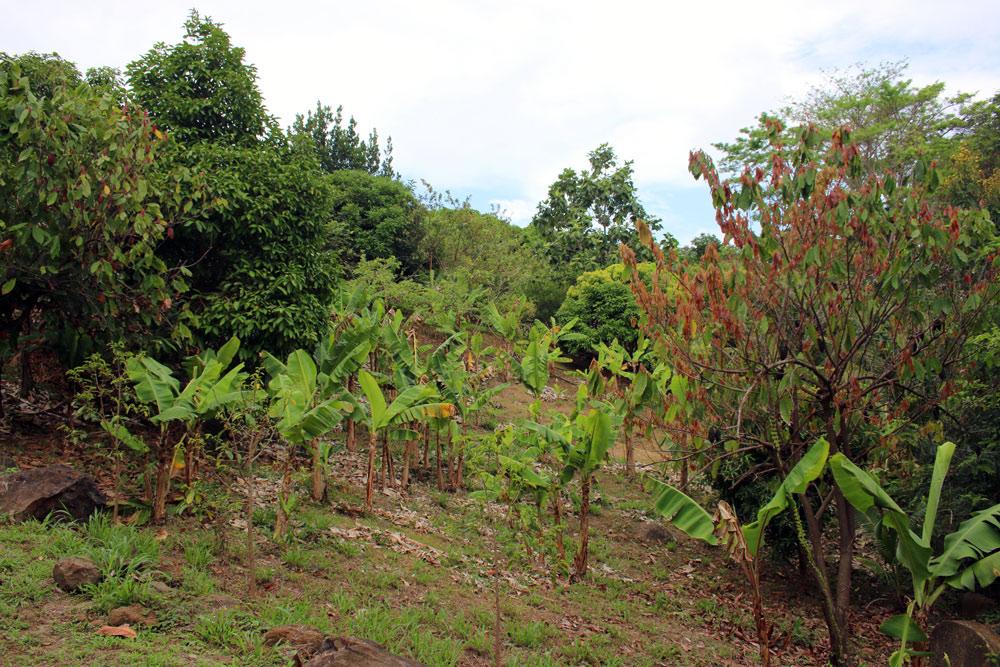 Backyard_Bananas