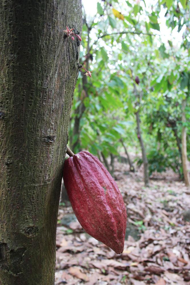 Cocoa_Growing_On_Tree