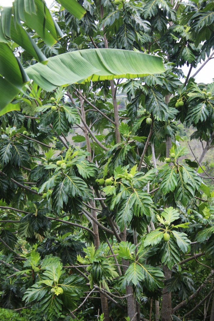 Giant_Breadfruit_Tree