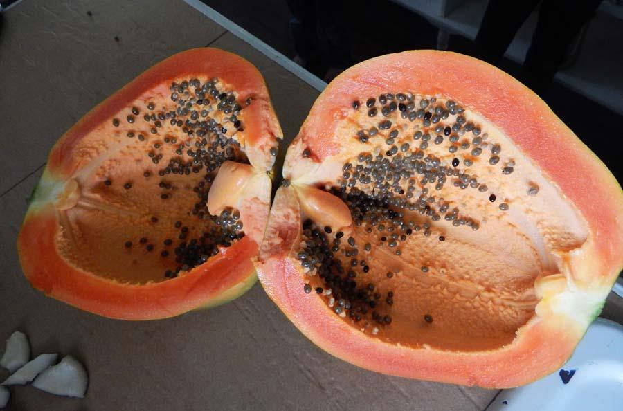 biggest papaya fruit