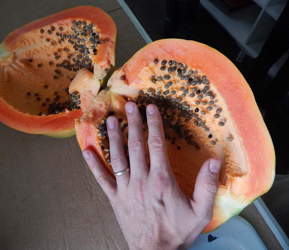 record winning biggest papaya fruit