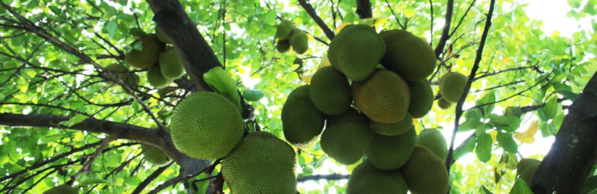 Growing_Jackfruit_In_South_Florida
