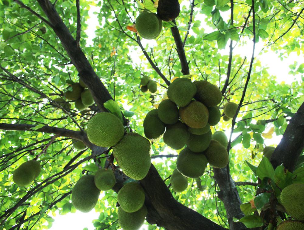 Growing Jackfruit In South Florida