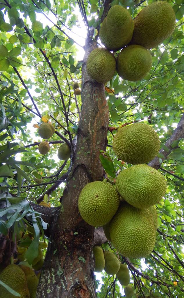 Growing Jackfruit In South Florida The Survival Gardener