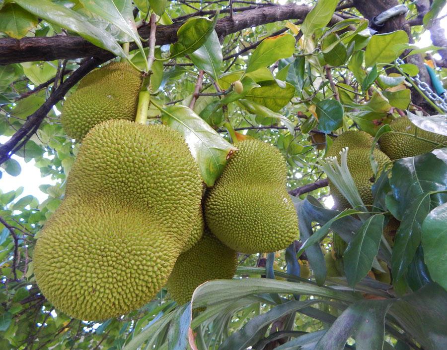 Growing Jackfruit In North Florida The Survival Gardener Shop for jackfruit art from the world's greatest living artists. the survival gardener