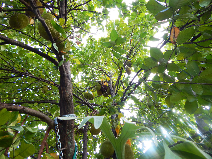 Jackfruit_Tree_South_Florida4