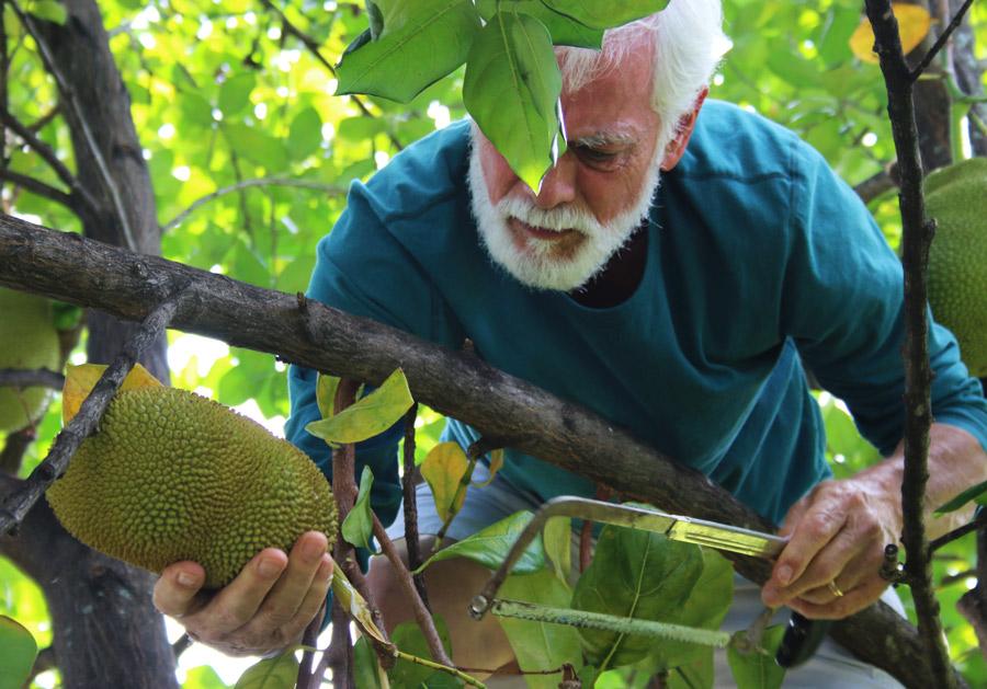 Jackfruit_Tree_South_Florida5