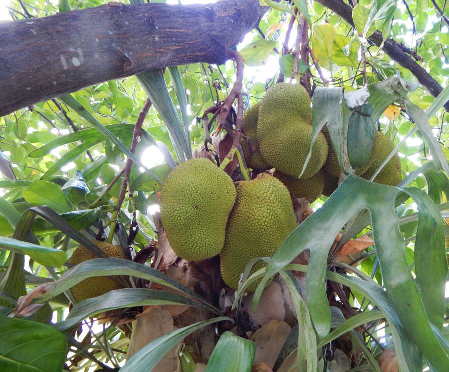 Jackfruit_Tree_South_Florida_Staghorn_Ferns