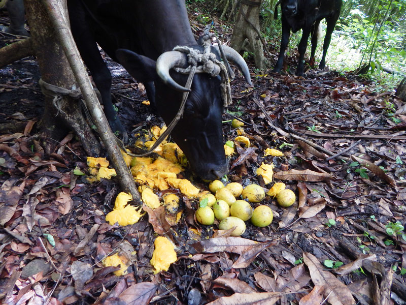 Milking_A_Cow_In_The_Bush_3