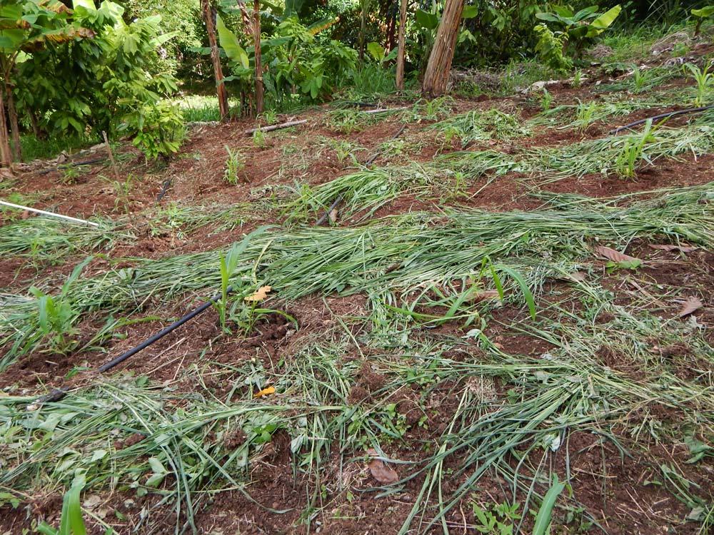 interplanting corn and pigeon peas