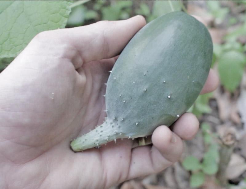 Gardening Failure - distorted cucumber