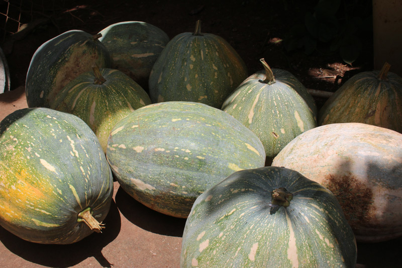 More-tropical-pumpkins