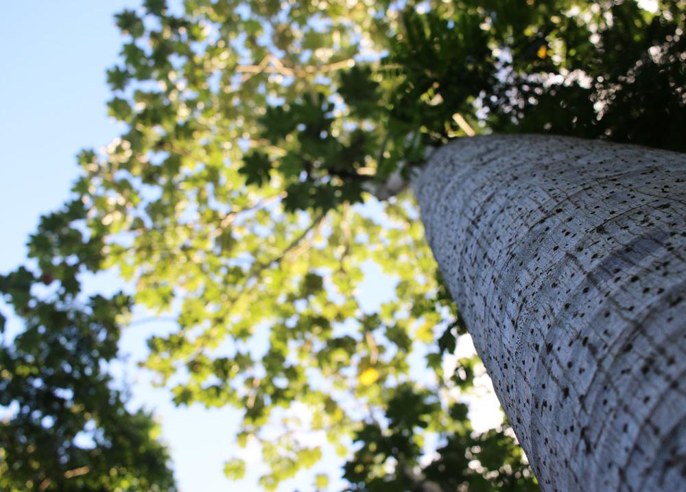 Cecropia-tree-upwards-2