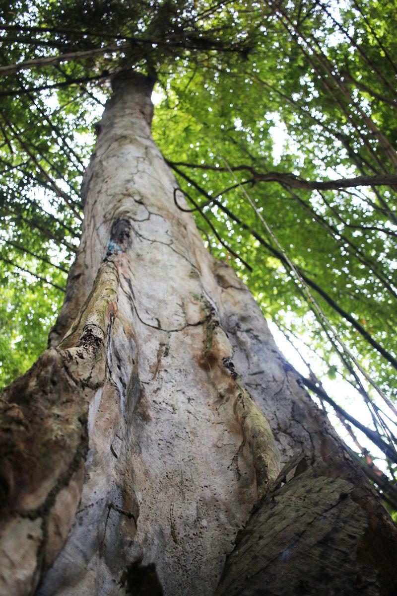 Dead-kapok-tree