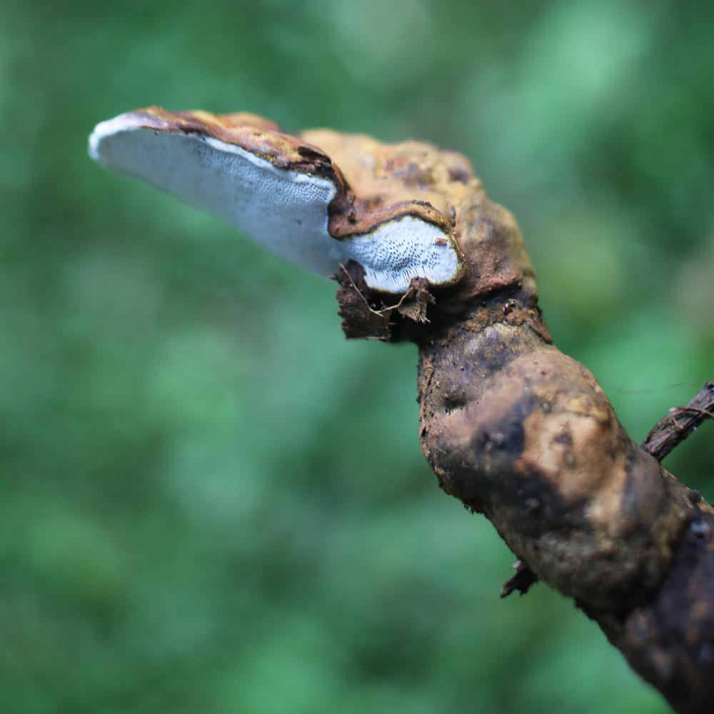 Ganoderma-close-up