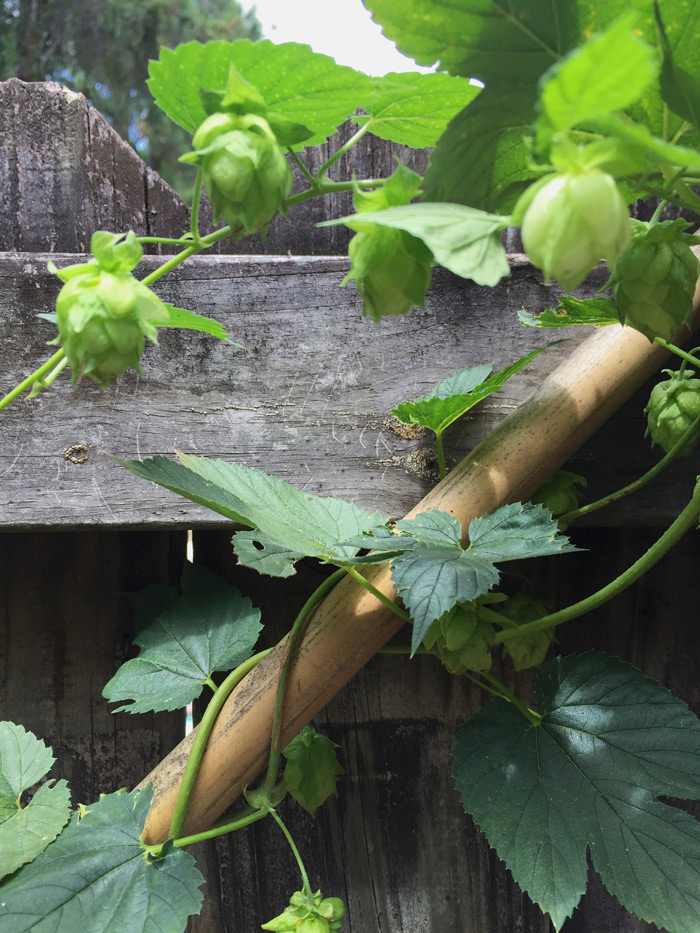 growing-hops-in-florida
