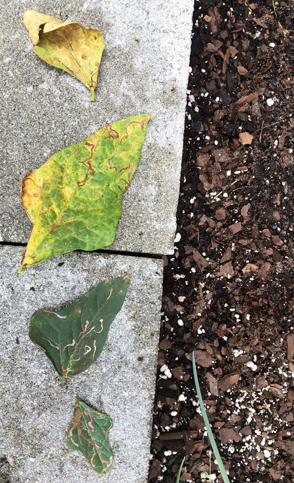 yard-long-bean-leaf-problems