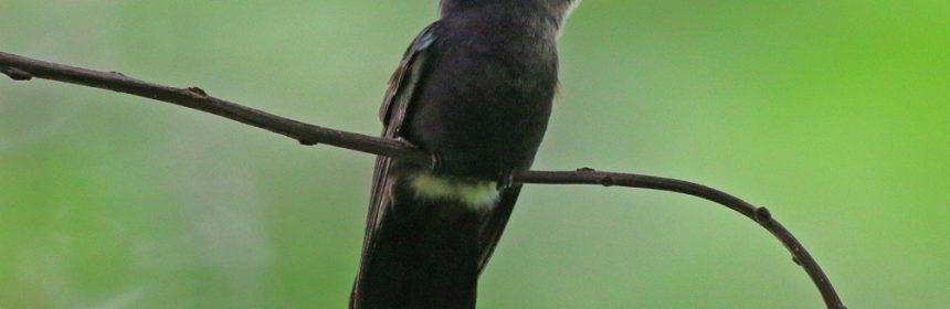 Crested-black-Hummingbird