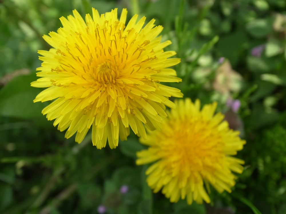 Dandelions-as-a-survival-food