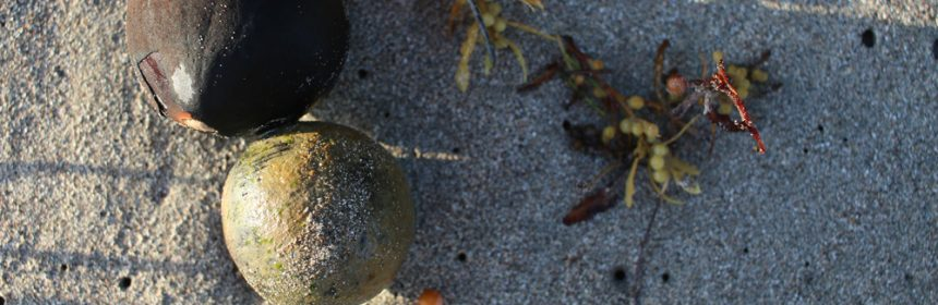Sea-coconuts