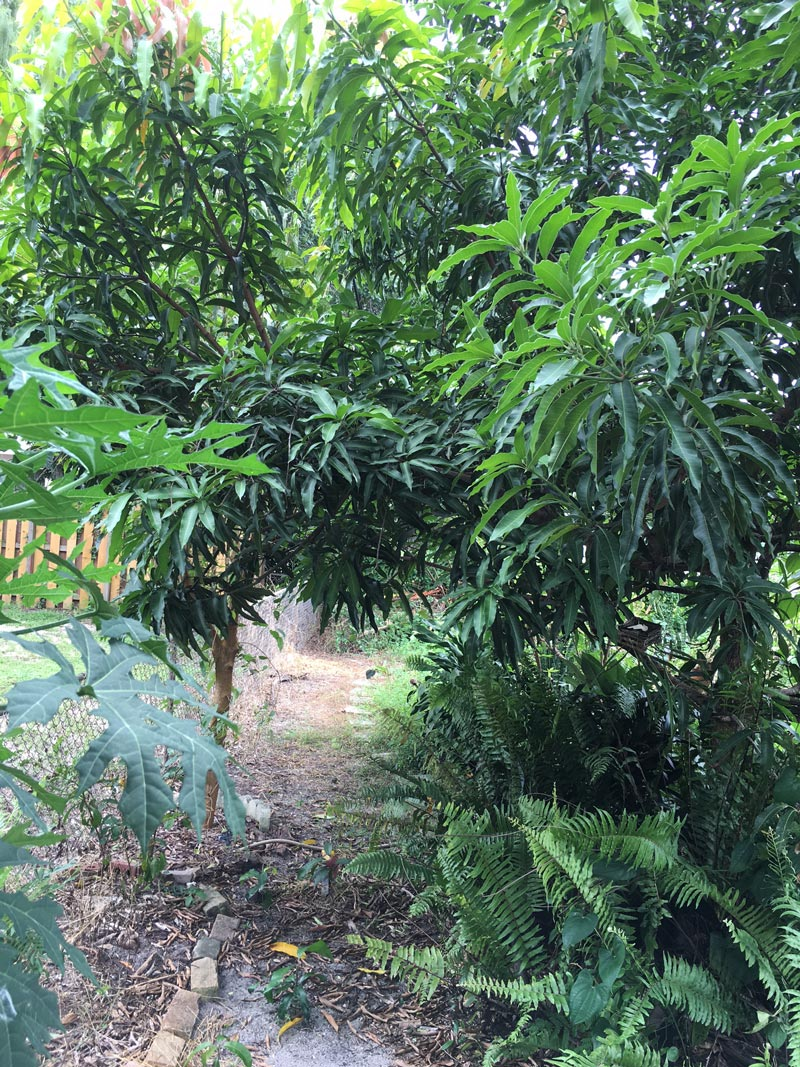 mango-chaya-southfloridafoodforest