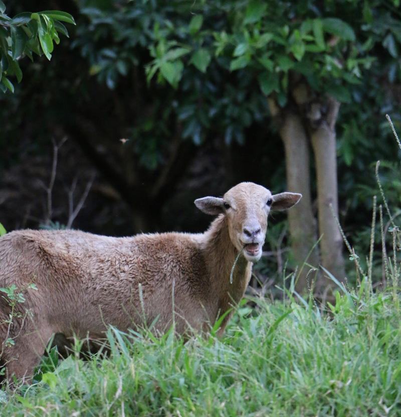 Happy-goat