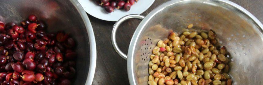 Processing-coffee-cherries-1