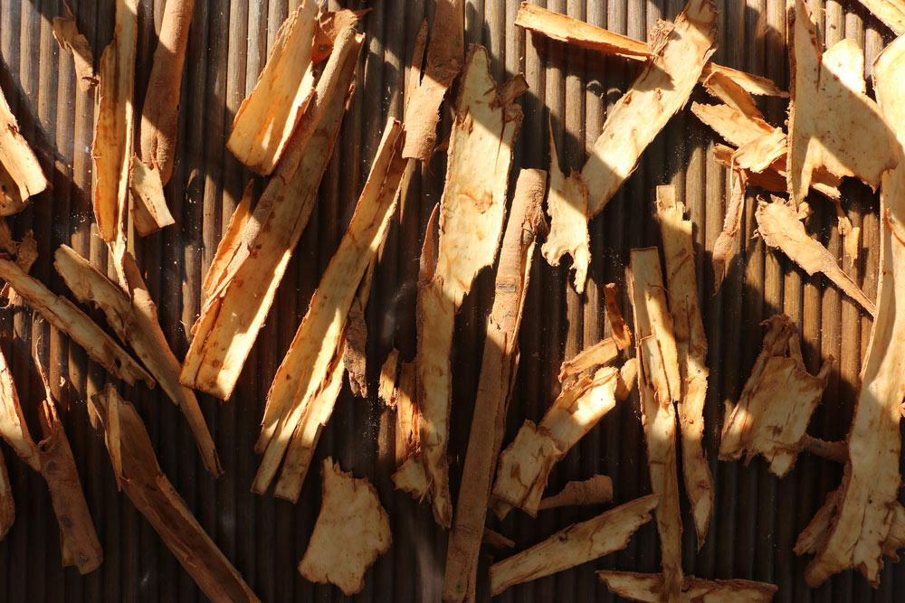 harvesting cinnamon and processing cinnamon
