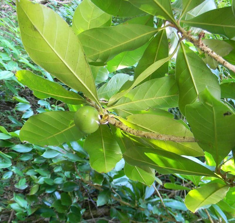 Pouteria-multiflora-2