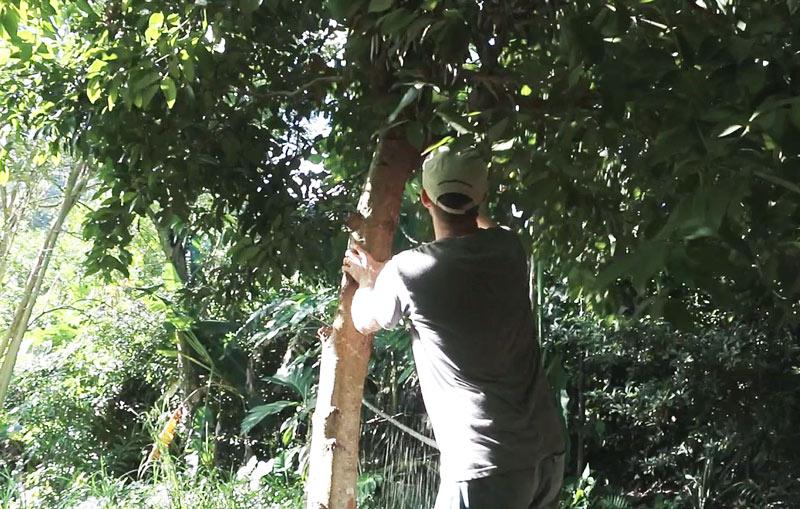 harvesting cinnamon