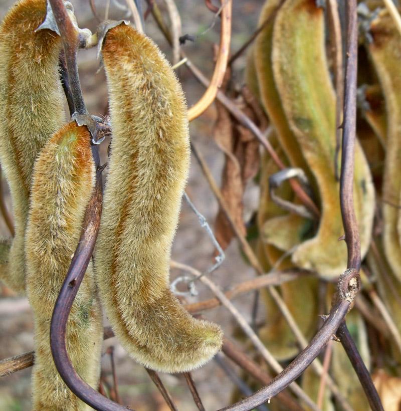 Stinging-velvet-beans