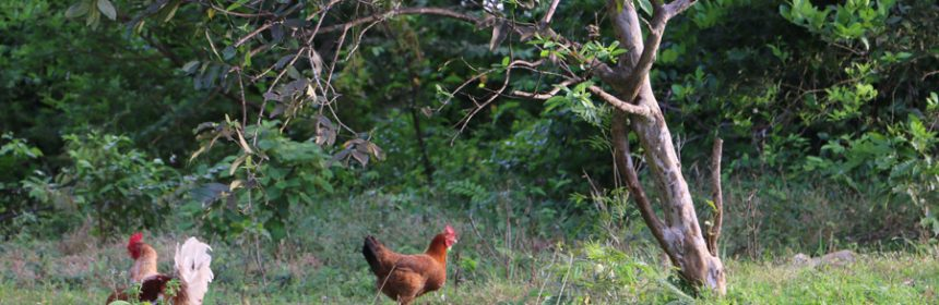 Chickens-in-the-wild