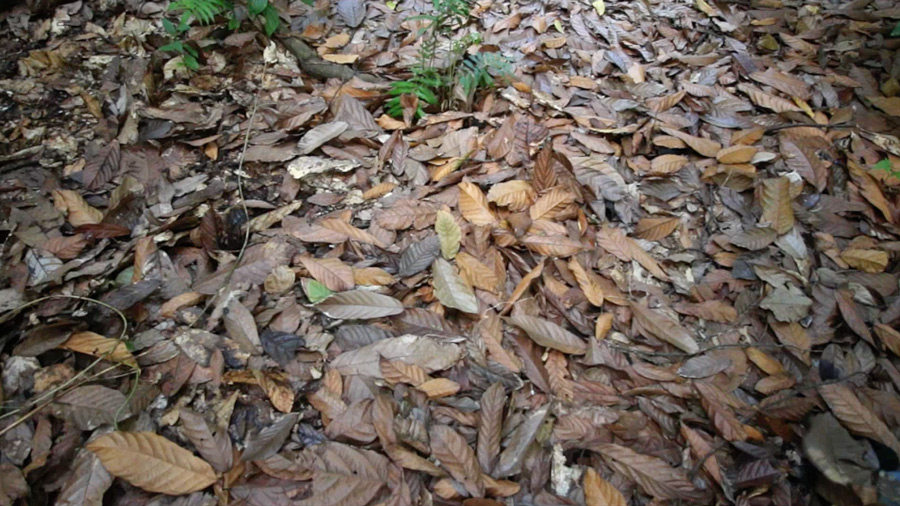 Cocoa-leaves