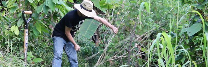 cassava-harvest