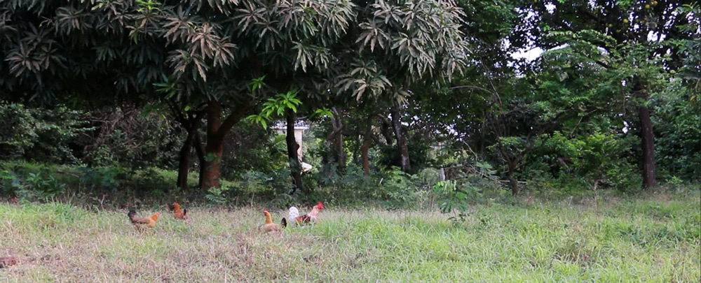 free-range-chickens-in-the-wild