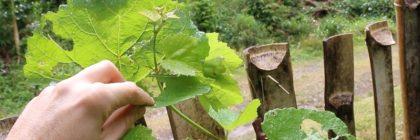 grape-pruned