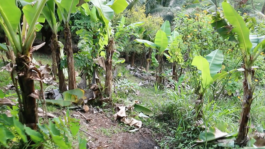 Banana-grove2