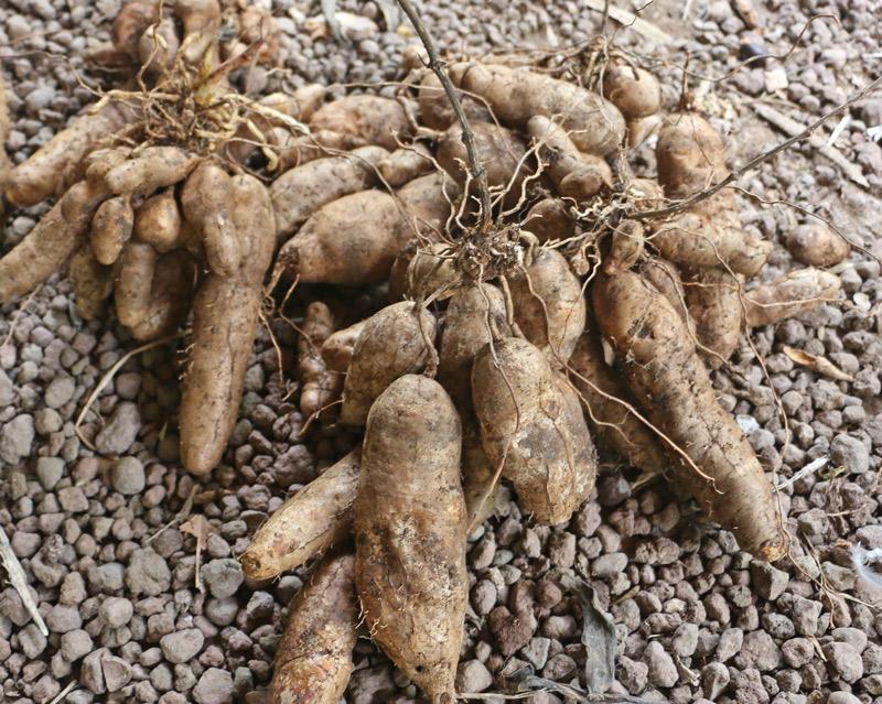 Potato-yam-dioscorea