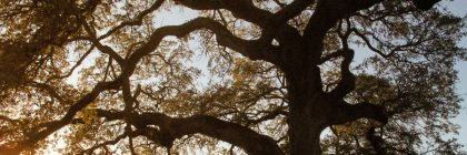giant-live-oak