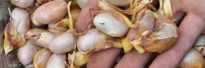 jackfruit-germination