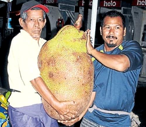 germinate jackfruit