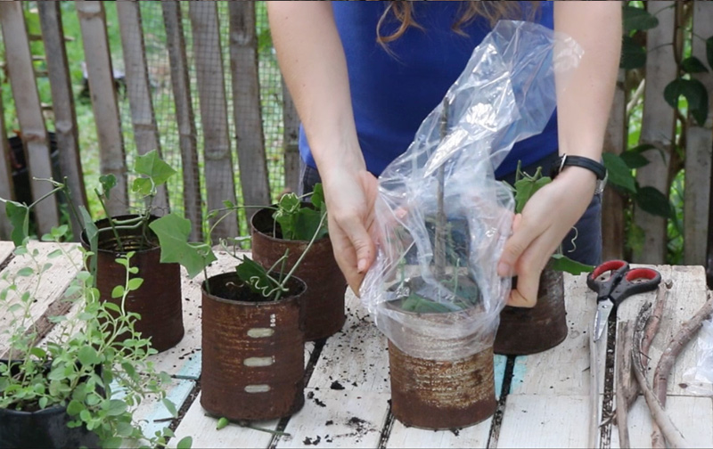 step5- rooting cuttings the easy way